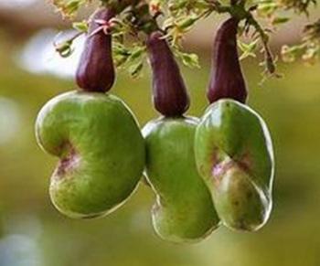 腰果施用有机肥的技术