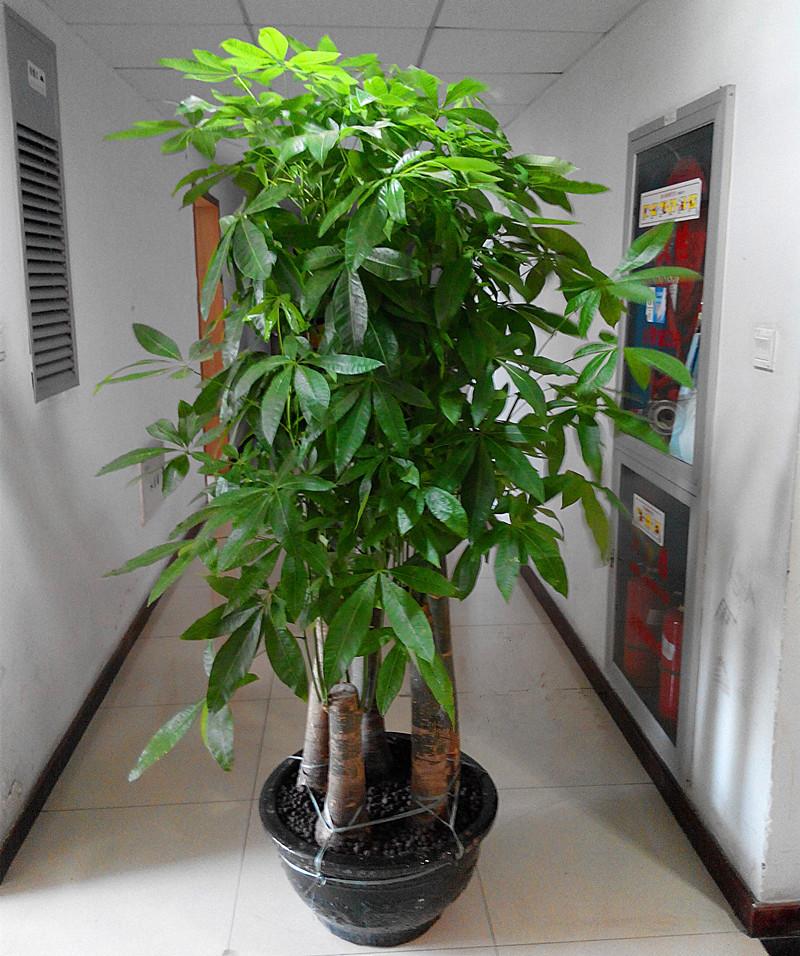 大型步步高发财树盆栽办公室客厅花卉绿化 开业乔迁绿植 五辫发财树