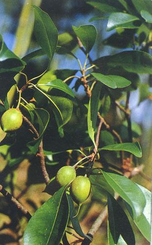 形态特征: 常绿乔木,高达30米,胸径达110厘米,体内具黄白色乳汁;树皮