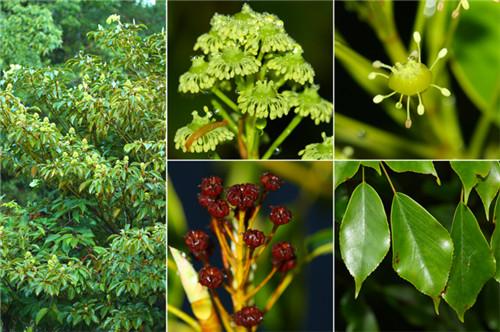 首页 名词解释 正文  科属: 昆栏树科  形态特征: 常绿乔木,高达20米