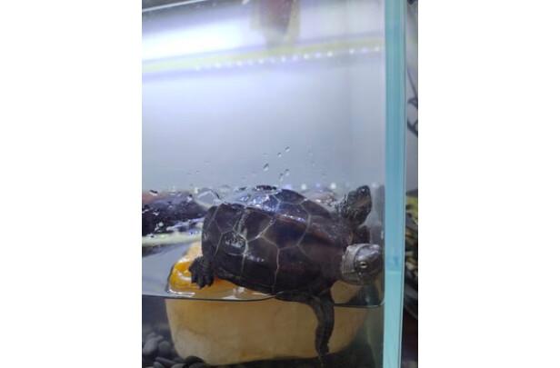 茨格曼龟粮怎么样?质量如何