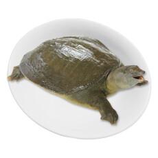 冷江 鲜活生态余姚甲鱼 母鳖 850g 1只 盒装 海鲜水产