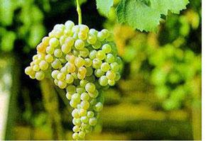 马爹利名士干邑白兰地 700ml  葡萄品种