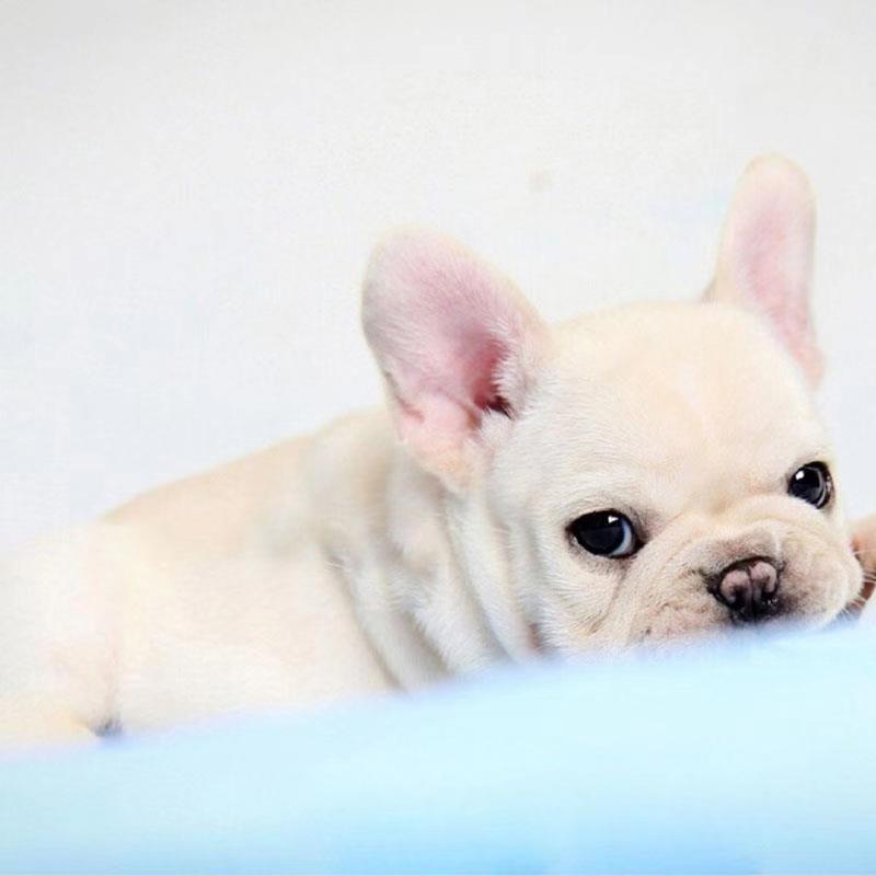 幼犬^宠物狗^活体^公^短毛^幼年犬(45日龄-12月龄)^未做完^无血统证书