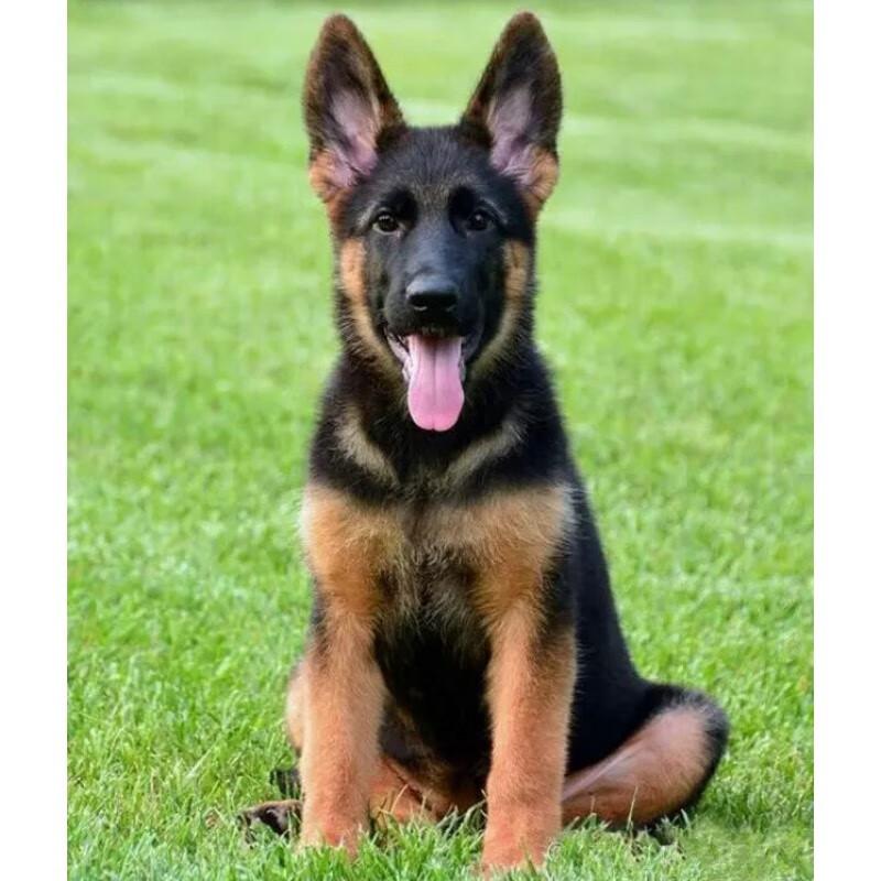 德国^短毛^牧羊犬^大型犬^已绝育^幼年犬(45日龄-12月龄)^已做完^有血统证书