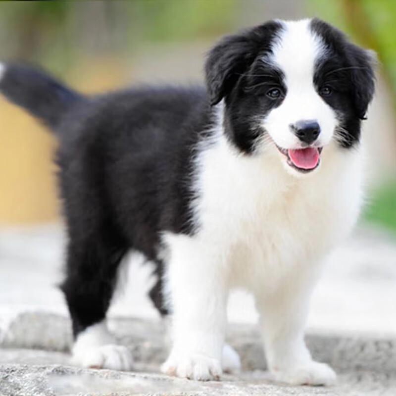 活体^中型犬^公^长毛^幼年犬(45日龄-12月龄)^已做完^无血统证书