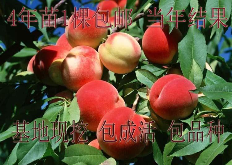 春天来了 嫁接水蜜桃树苗果树盆栽黄桃树苗适合全国