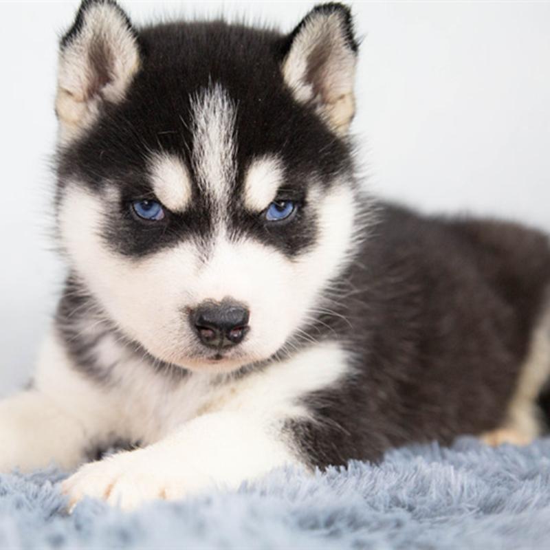 狗狗^哈士奇^幼犬^中型犬^公^短毛^幼年犬(45日龄-12月龄)^未做完^无血统证书