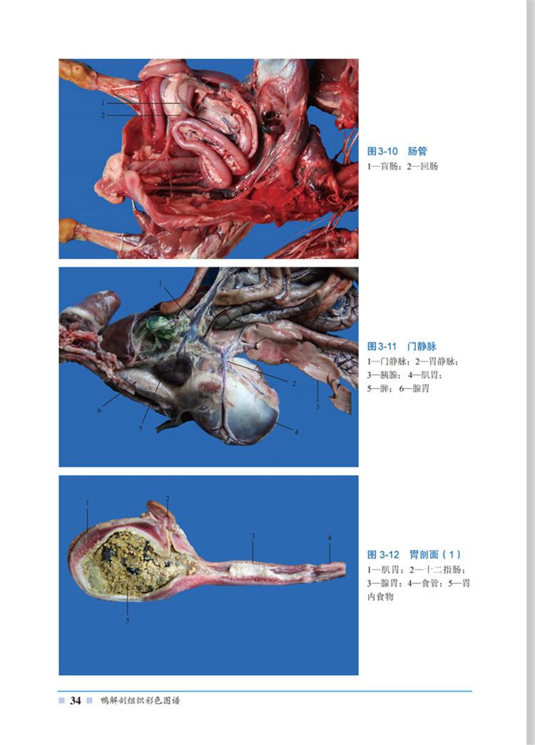 (开学季rx)鸭解剖组织彩色图谱 李健,郁川,张旻 9787122253637 化学