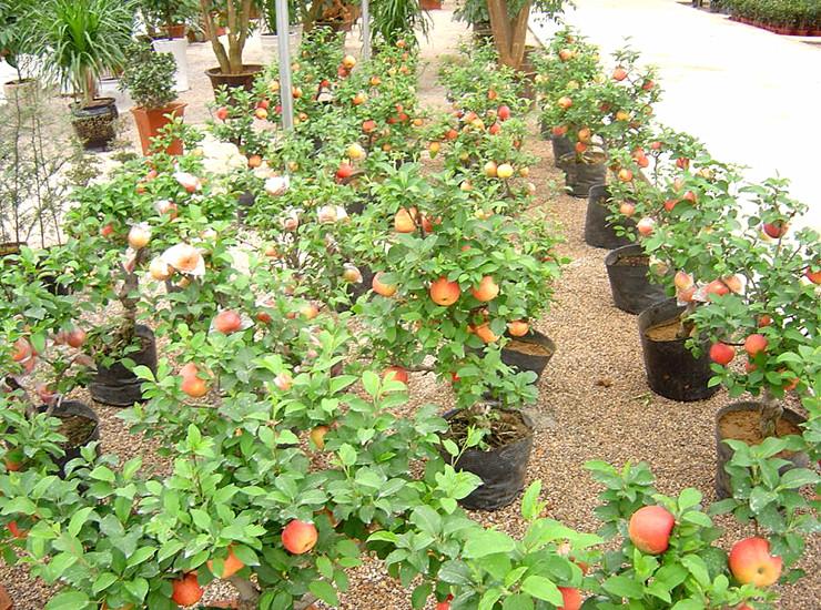春天来了 农场直销苹果树苗南方栽植果树盆栽苹果苗