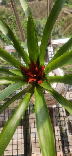 鸿运当头绿植盆栽花卉植物室内客厅水培植物红星凤梨水养植物盆花 晒单图