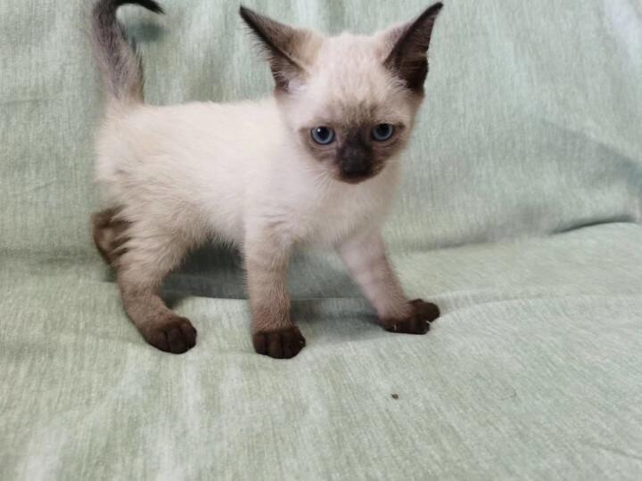 ROYAL CANIN 皇家猫粮 P30 波斯猫 成猫猫粮10kg 波斯猫粮 减少毛球 被毛亮泽 晒单图