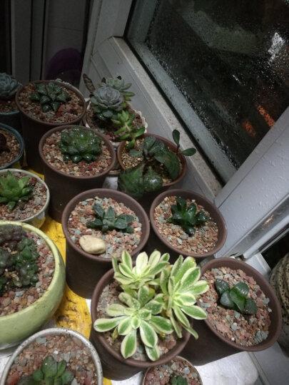 一元多肉 多肉植物 24款新品半价区办公室室内萌 植物盆栽组合 摇钱树1颗 晒单图