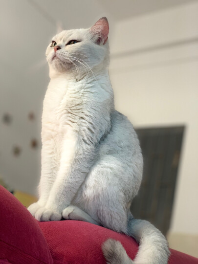 醇粹 猫粮奶糕 幼猫粮 易咀嚼颗粒 美短英短波斯猫粮 全价幼猫期猫粮 2kg 晒单图