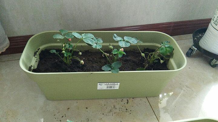 爱丽思(IRIS) 爱丽思 美时园艺加厚树脂塑料特大花盆阳台花园种菜盆无需托盘自带堵水塞子 米色 晒单图
