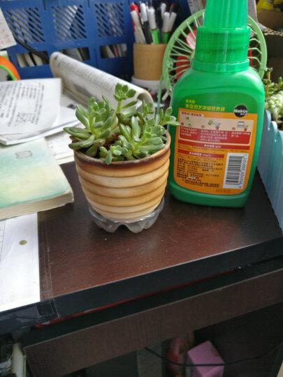 美乐棵 种球型营养液250ML/瓶 郁金香风信子水仙花马蹄莲种球盆栽植物肥料 家庭园艺浓缩营养液 晒单图