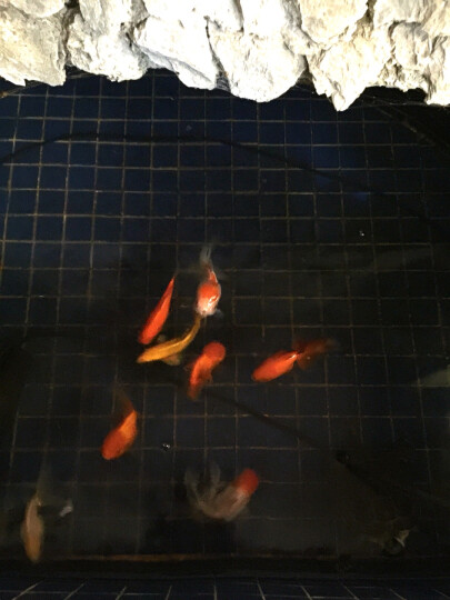 原力金鱼鱼粮 兰寿鱼食浮性金鱼鱼饲料 鱼粮饲料 200g袋装金鱼鱼粮-中颗粒 晒单图