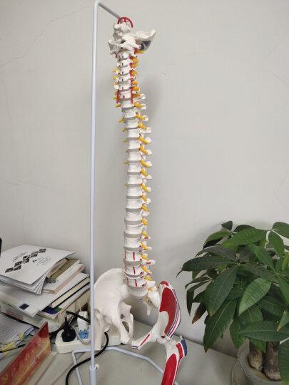 海医(Hey Model) 人体脊椎附骨盆模型 骨科正骨教学人体脊柱椎间盘脊椎神经 脊柱 肌肉起止着色带股骨 晒单图