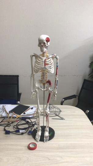 颐诺(ENOVO MEDICAL MODEL)人体骨骼模型医用脊柱人体骨架模型 豪华款85CM带脊神经1肌肉起止点 晒单图