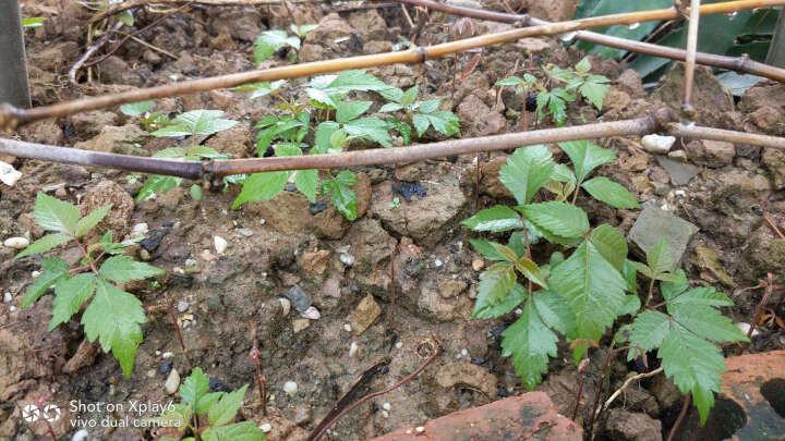 甘草种子 纯新中药材种苗新疆红皮甘草种苗包发芽指导种植 甘草种子一斤包邮 晒单图
