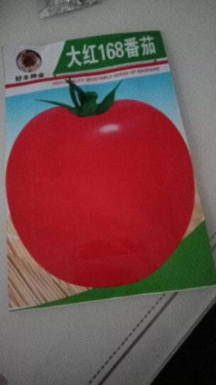 颜集卉 D蔬菜瓜果种子 家庭园艺庭院 大红168番茄1000粒 晒单图