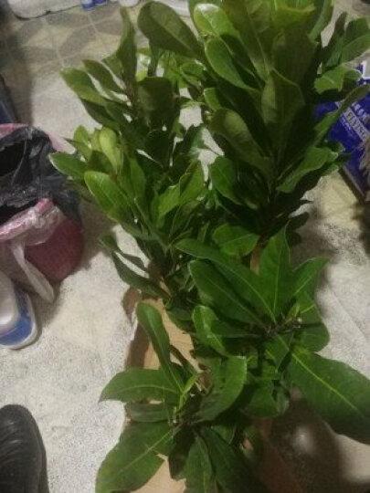 庭院 阳台 盆栽地栽果树 建采摘园苗  蓝莓 樱桃 柿子 无花果 葡萄 橘子 梨树苗 2年苗 晒单图