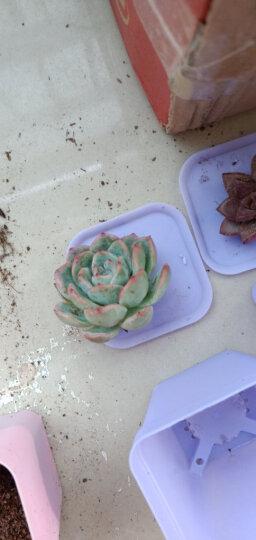 迎虞花苑新手多肉植物盆栽套餐绿植盆景 精选高端10种多肉+10个彩方(含托盘)+营养土 晒单图