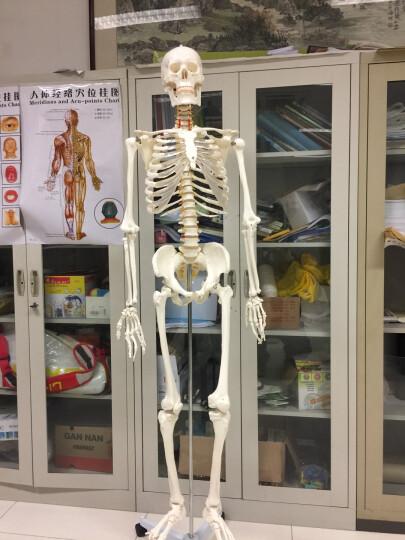 海医(Hey Model) 人体骨架模型170CM 骨骼标本 全身骨骼模型 美术医用医用骨架 晒单图