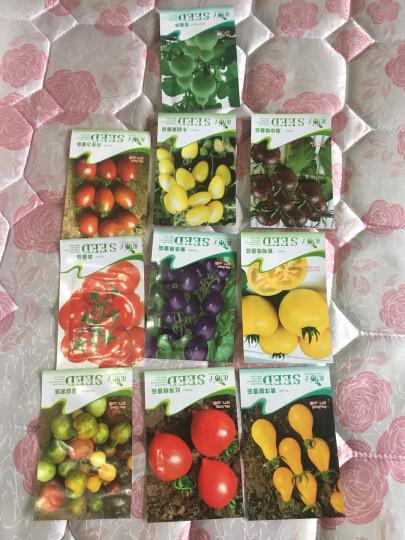 堇辰 番茄种子 西红柿种子 盆栽蔬菜水果种子 家庭阳台种植 黄寿桃番茄20粒 彩包装 晒单图