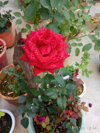月季苗 当年开花 玫瑰花苗 藤本月季花苗 爬藤蔷薇花苗 月季盆栽花卉 香槟玫瑰 晒单图