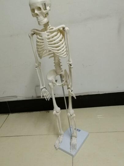 海医(Hey Model) 医用人体85cm人体骨架模型 人体骨骼模型 脊椎模型 肌肉色 02204185CM带神经 晒单图