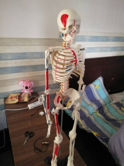 人体骨骼模型 医用45cm85cm骷髅可活动骨架结构解剖模型 美术瑜伽教学教具 F款【85cm肌肉起止点带神经】 晒单图