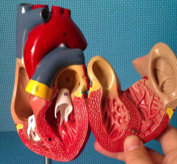 海医(Hey Model) 医用人体心脏解剖模型 带数字放大 1:1自然大心脏 02709 晒单图