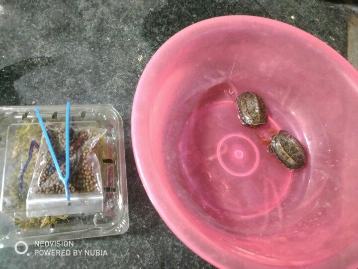 乌龟活体中华草龟宠物金线草龟 小草龟苗外塘水陆宠物龟活体 中华草龟活体 背甲约4-5cm 2只 晒单图
