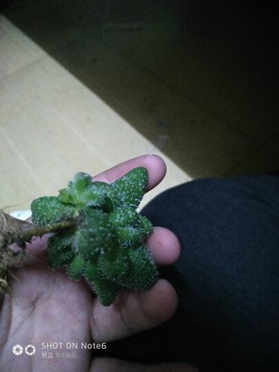 含盆送土多肉植物盆栽花卉植物肉肉植物仙人球组合 绒针3-5厘米 含盆 晒单图