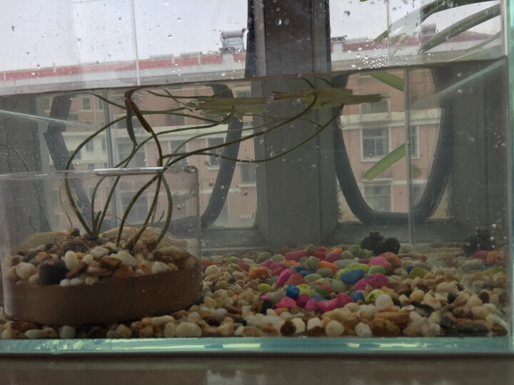 泰西丝 水生碗莲荷花盆栽水养植物室内迷你花卉睡莲已开口四季种 混色+花盆+营养液+种子+荷塘泥 晒单图