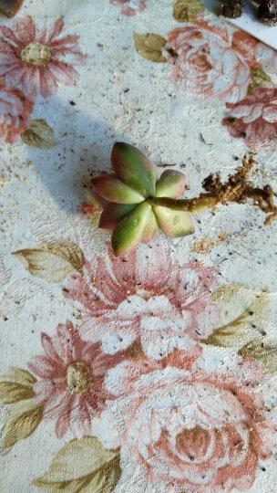 含盆送土多肉植物盆栽花卉植物肉肉植物仙人球组合 白美人3-4厘米 不含盆 晒单图