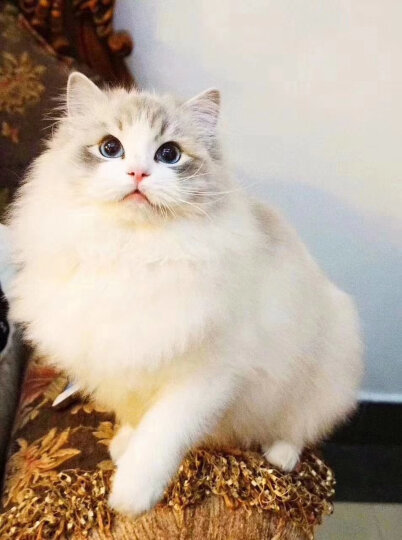 BOTH 猫粮 全期全价鸡肉甘薯配方通用猫粮I69-10kg 晒单图