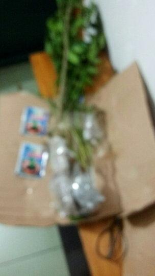 【买1颗送1颗】当年开花玫瑰花苗 藤本月季花苗 四季爬藤蔷薇花苗 月季盆栽花卉 香槟玫瑰 晒单图