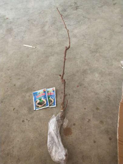 莲雾苗 台湾热带水果 黑金刚莲雾果苗 果树苗盆栽 南方北方种植 黑金刚  四年大苗 51cm(含)-80cm(含) 晒单图