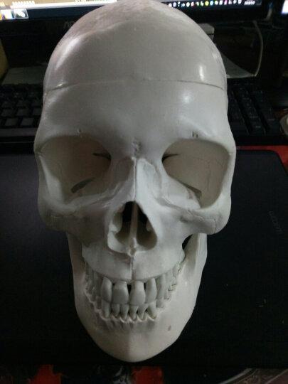 海医(Hey Model) 医用人体头骨模型1:1仿真头颅口腔牙齿模型功能区域头骨模型可拆卸 022034头骨肌肉着色带数字 晒单图