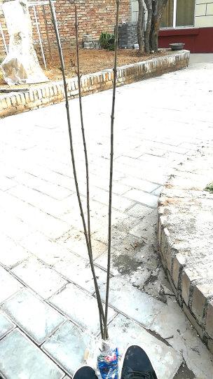 沉香苗白木香沉香树苗奇楠沉栽苗木名贵苗木海南沉香树苗沉香种子 种子1斤 81cm(含)-110cm(含) 晒单图