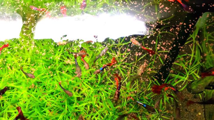 诚程观赏小型鱼热带鱼孔雀鱼斗鱼增彩增色鱼缸上浮型鱼食鱼粮饲料三友创美 三友创美增彩20g 晒单图