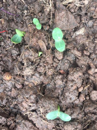 四季播种蔬菜种子 黑皮无籽西瓜种子 8424西瓜 黑美人大红宝西瓜种极甜早佳 黑霸王 晒单图