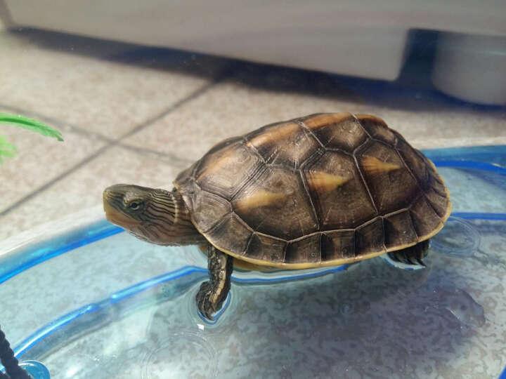易萌 乌龟缸 带晒台 特大号 养龟盆 塑料 水龟 巴西龟缸 别墅饲养箱 大号盖子 晒单图