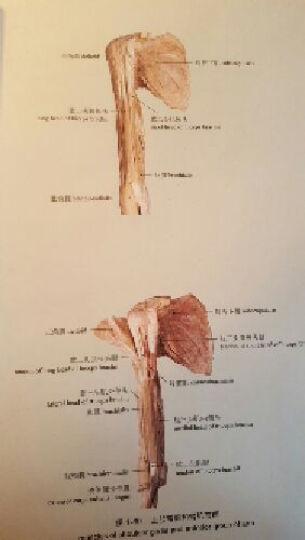全国规划教材配套用书:人体解剖学彩色图谱(第2版) 晒单图