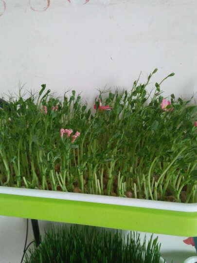 聚雅轩(JUYAXUAN) 芽苗菜种子纸上种菜阳台种菜松柳空心菜小麦豌豆萝卜黄豆种子 带壳花生(500克) 晒单图