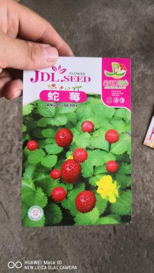 金丹隆园艺(JINDANLONG) 果蔬种子菜种子庭院可盆栽家庭种植阳台园艺蔬菜水果种子 迷你草莓种子40粒(出苗14天) 晒单图