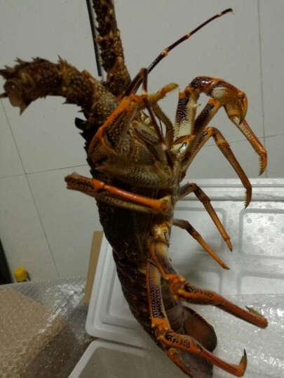 【活鲜】大渔场 澳洲进口鲜活龙虾 澳龙 1.5kg/只 海鲜 晒单图