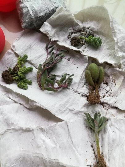 含盆送土多肉植物盆栽花卉植物肉肉植物仙人球组合 锦晃星3-5厘米 不含盆 晒单图